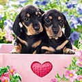 Serviette Dachshund Puppies
